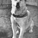 Hachiko, zgodba o psu, ki še dandanes navdihuje ljudi